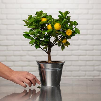 ارسال هدیه به آلمان - ارسال گل به آلمان-تبریک- ولنتاین- کالامندین- گیاه آپارتمانی - گل و گیاه