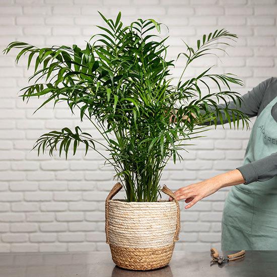 ارسال هدیه به آلمان - ارسال گل به آلمان-تبریک- ولنتاین- شامادورا- گیاه آپارتمانی - گل و گیاه- نخل شامادورا