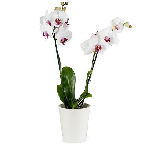 ارسال هدیه به استرالیا - ارسال گل به سترالیا-ولنتاین- ارسال کیک به استرالیا- تبریک تولد- گلدان ارکیده