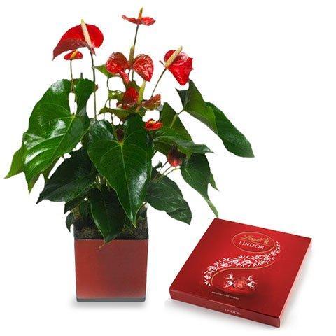 ارسال هدیه به اتریش - ارسال گل به اتریش-تبریک- ولنتاین- ارسال کیک به اتریش- تبریک تولد- گلدان آنتوریوم- آنتوریوم قرمز-گل و شکلات- گلدان آپارتمانی