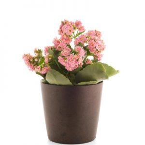 گلدان کالانکوا صورتی -ارسال هدیه به اتریش