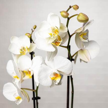 ارسال هدیه به هلند - ارسال گل به هلند-تبریک- ولنتاین- ماکارون- پکیج - ارکیده -ارکیده سفید-ماکارون