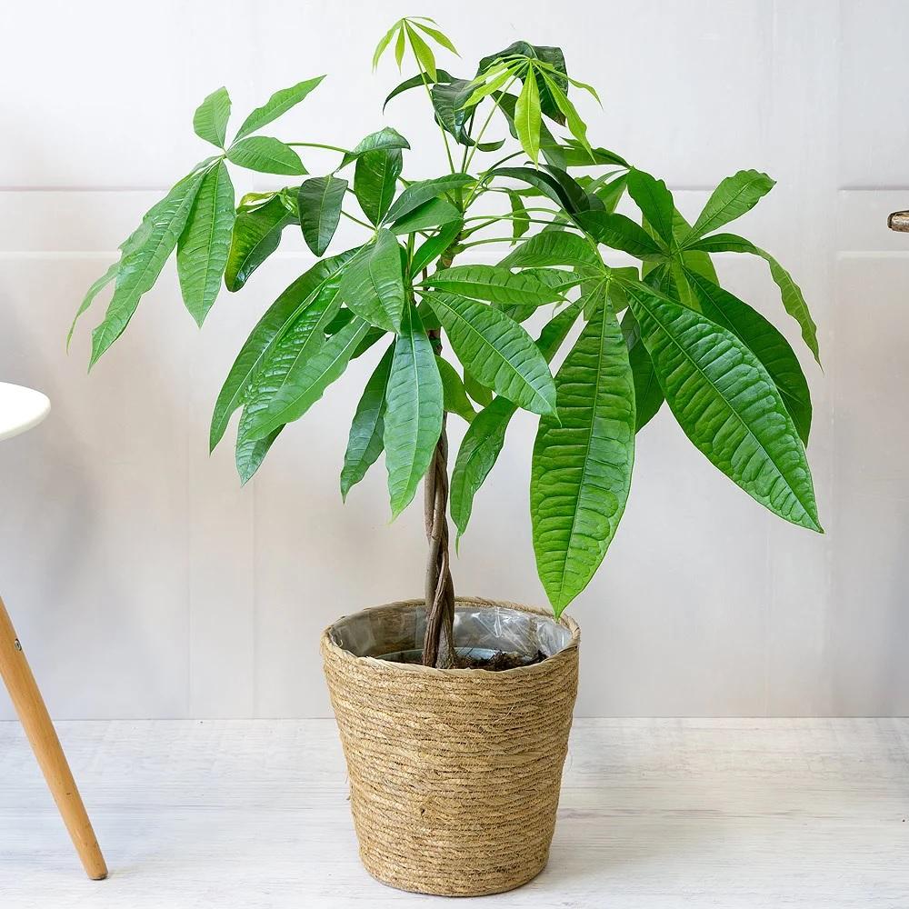 پاچیرا (درخت پول) - اسنپ گیفت| ارسال گل و هدایا