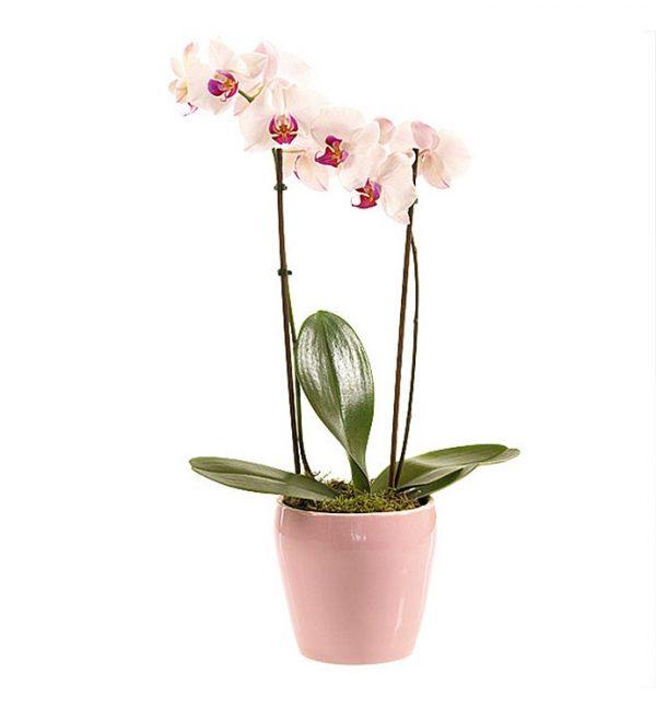 رسال هدیه به ایتالیا - ارسال گل به ایتالیا-تبریک- ولنتاین- ارکیده- گیاه آپارتمانی - گل و گیاه- ارکیده صورتی